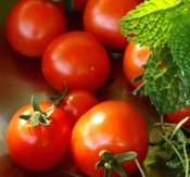 "Tomat ""Tiny Tim"""